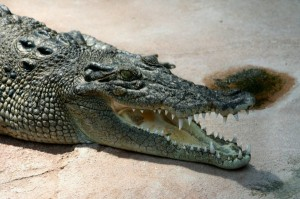 crocodile_head