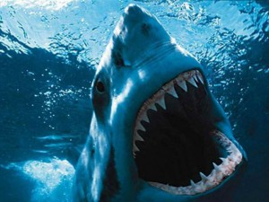 A White Shark - The real jaws
